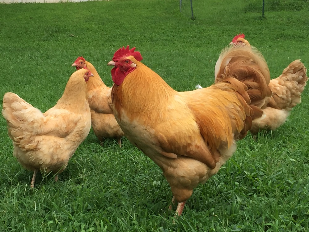 Our Buff Orpington rooster, Henry, along with several hens.