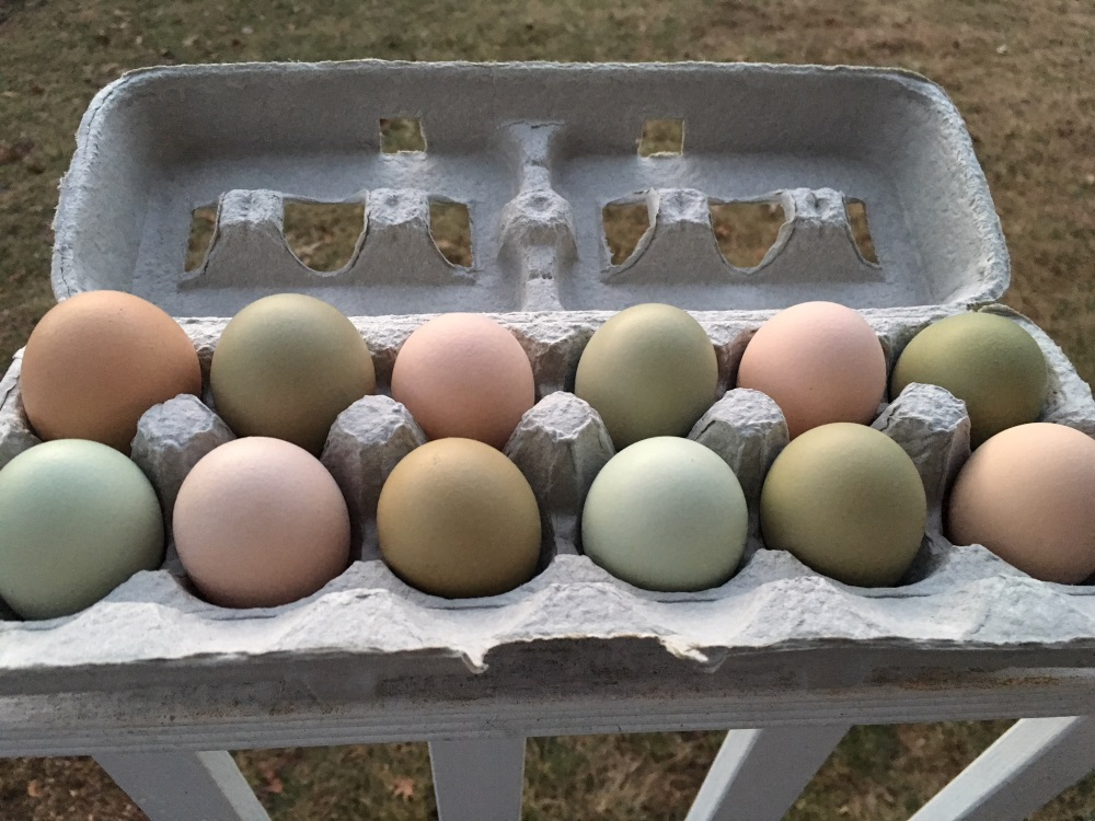 A dozen multi-colored eggs in brown, light green and olive green laid by our chickens.